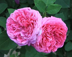 Rose damascena for rose oil