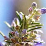 Best Rosemary Essential Oils Reviews